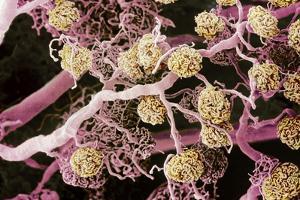 Kidney Glomeruli, SEM by Steve Gschmeissner