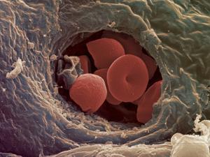 Liver Capillary, SEM by Steve Gschmeissner