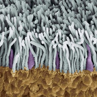 Retina Rods And Cones, SEM by Steve Gschmeissner