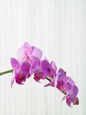 Purple orchids by Steve Hix