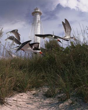 Lighthouse Terns II by Steve Hunziker