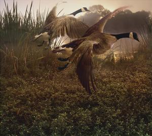 Morning Geese by Steve Hunziker
