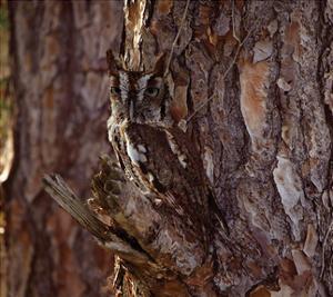 Screech Owl by Steve Hunziker