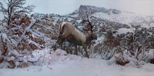 Snowy Elk by Steve Hunziker