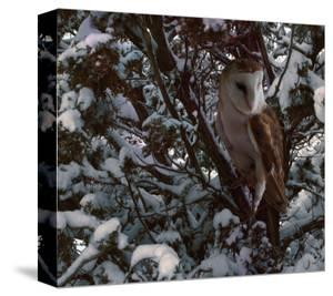 Snowy Owl by Steve Hunziker