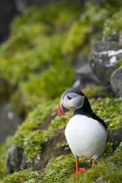 Atlantic Puffin, Spitsbergen, Svalbard, Norway by Steve Kazlowski