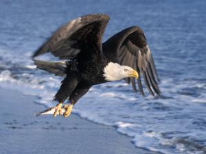 Bald Eagle in Flight with Fish in Kachemak Bay, Alaska, USA by Steve Kazlowski