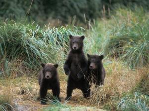 Brown Bear and Three Spring Cubs in Katmai National Park, Alaskan Peninsula, USA by Steve Kazlowski