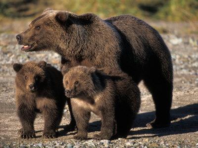 Brown Bear Sow with Cubs Looking for Fish, Katmai National Park, Alaskan Peninsula, USA
