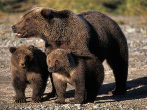 Brown Bear Sow with Cubs Looking for Fish, Katmai National Park, Alaskan Peninsula, USA by Steve Kazlowski