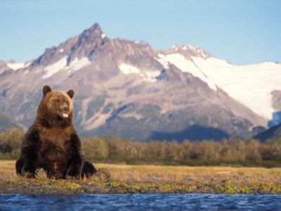 Brown Bear with Salmon Catch, Katmai National Park, Alaskan Peninsula, USA