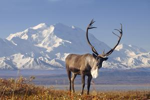 Caribou bull in fall colors with Mount McKinley in the background, Denali National Park, Alaska by Steve Kazlowski