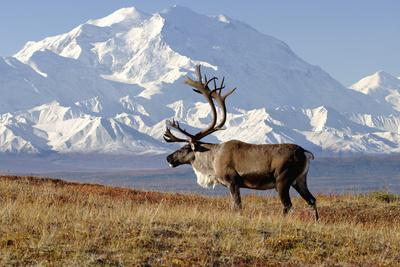 Caribou bull in fall colors with Mount McKinley in the background, Denali National Park, Alaska