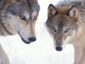 Gray Wolf in Foothills of the Takshanuk Mountains, Alaska, USA by Steve Kazlowski