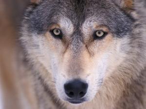 Gray Wolf in the Foothills of the Takshanuk Mountains, Alaska, USA by Steve Kazlowski
