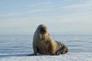 Greenland Sea, Norway, Spitsbergen. Walrus Rests on Summer Sea Ice by Steve Kazlowski