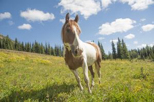 Horse in an Alpine Meadow, Slate Pass, Pasayten Wilderness, Washington by Steve Kazlowski