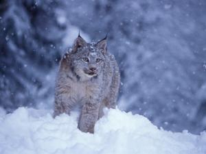 Lynx in the Snowy Foothills of the Takshanuk Mountains, Alaska, USA by Steve Kazlowski