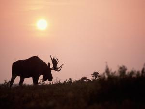 Moose Bull with Antlers Silhouetted at Sunset, Smoke of Wildfires, Denali National Park, Alaska by Steve Kazlowski