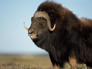 Musk Ox Bull on the North Slope of the Brooks Range, Alaska, USA by Steve Kazlowski