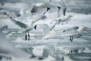 Norway, Spitsbergen. Flock of Black-Legged Kittiwakes Take Flight by Steve Kazlowski