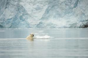 Norway, Spitsbergen, Fuglefjorden. Polar Bear Swimming by Steve Kazlowski