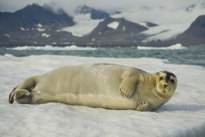 Norway, Spitsbergen, Greenland Sea. Bearded Seal Pup Rests on Sea Ice by Steve Kazlowski