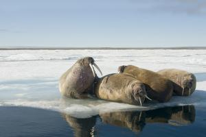 Norway, Spitsbergen, Nordauslandet. Walrus Group Rests on Sea Ice by Steve Kazlowski
