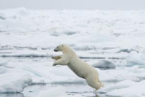 Norway, Spitsbergen. Polar Bear Jumps from Ice Floe to Ice Floe by Steve Kazlowski