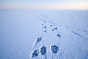Polar Bear Footprints in the Snow, Bernard Spit, ANWR, Alaska, USA by Steve Kazlowski