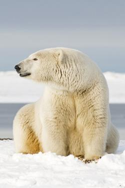 Polar Bear Sits Along Barrier Island, Bernard Spit, ANWR, Alaska, USA by Steve Kazlowski