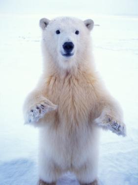Polar Bear Standing on Pack Ice of the Arctic Ocean, Arctic National Wildlife Refuge, Alaska, USA by Steve Kazlowski