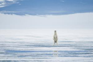 Polar Bear Travels Along Sea Ice, Spitsbergen, Svalbard, Norway by Steve Kazlowski