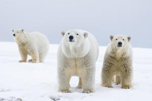 Polar Bear with Two 2-Year-Old Cubs, Bernard Spit, ANWR, Alaska, USA by Steve Kazlowski