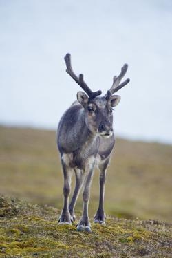 Svalbard Reindeer Buck on Tundra, St. Jonsfjorden, Spitsbergen, Norway by Steve Kazlowski