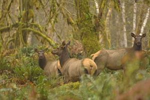 USA, Washington, Olympic NP. Roosevelt elk cows foraging. by Steve Kazlowski