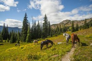 Washington, North Cascades, Slate Pass. Horses and Mules Foraging by Steve Kazlowski