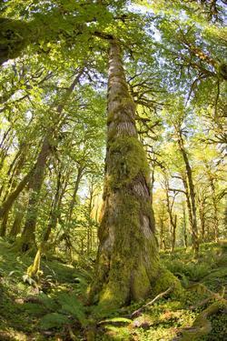 Washington, Olympic Grand Moss Draped Bigleaf Maple by Steve Kazlowski