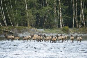 Washington, Olympic, Quinault River. Roosevelt Elk Herd Crossing by Steve Kazlowski