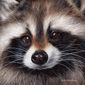 Raccoon by Steve Klinkel