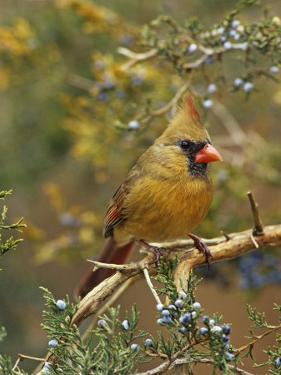 A Female Northern Cardinal (Cardinalis Cardinalis) in Red Cedar, Eastern North America by Steve Maslowski