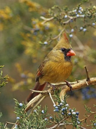 A Female Northern Cardinal (Cardinalis Cardinalis) in Red Cedar, Eastern North America