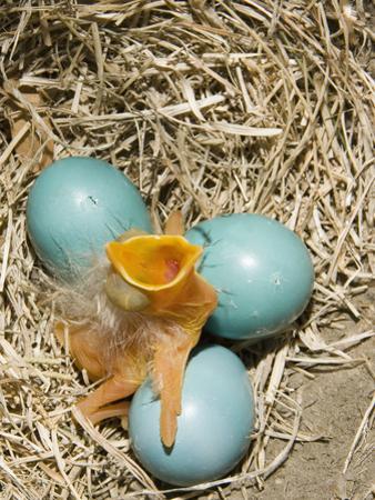 American Robin (Turdus Migratorius) Egg Hatching by Steve Maslowski