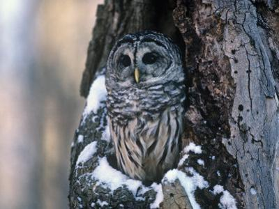 Barred Owl (Strix Varia) in a Hollow of a Maple Tree (Acer). North America by Steve Maslowski