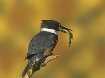Belted Kingfisher (Ceryle Alcyon) with a Captured Fish, North America by Steve Maslowski