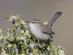 Bewick's Wren (Thryomanes Bewickii) Perched by Steve Maslowski