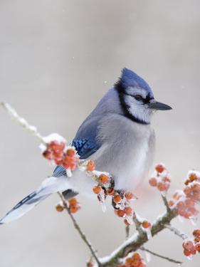 Blue Jay (Cyanocitta Cristata) in Icy Berries by Steve Maslowski