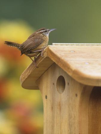 Carolina Wren at its Nest Box or Bird House (Thryothorus Ludovicianus), Eastern USA by Steve Maslowski