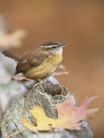 Carolina Wren (Thryothorus Ludovicianus), South Carolina State Bird. USA by Steve Maslowski