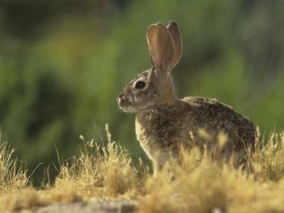 Desert Cottontail Rabbit (Sylvilagus Audubonii), Southwestern USA by Steve Maslowski